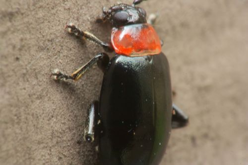 Beetle-904