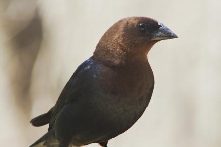 cowbird1
