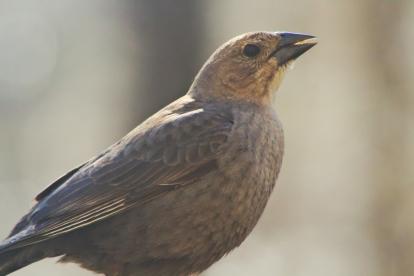 Cowbird19
